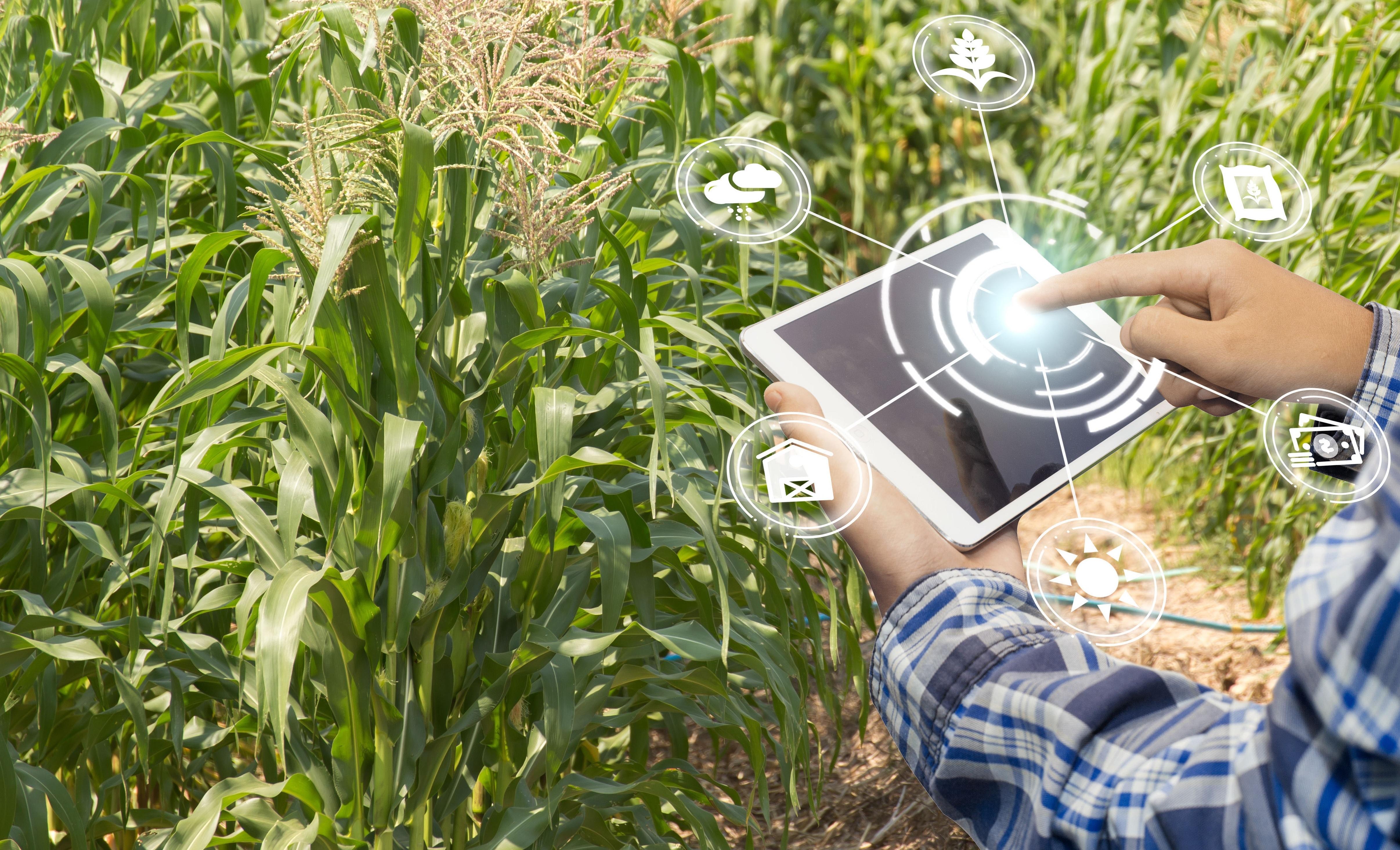 plantação de milho sendo monitorada por programa de agricultura digital