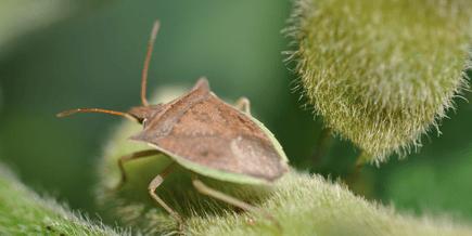 Percevejo-barriga-verde prejudicando a agricultura moderna