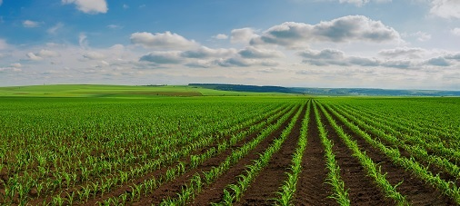 Plantação de milho ainda pequeno