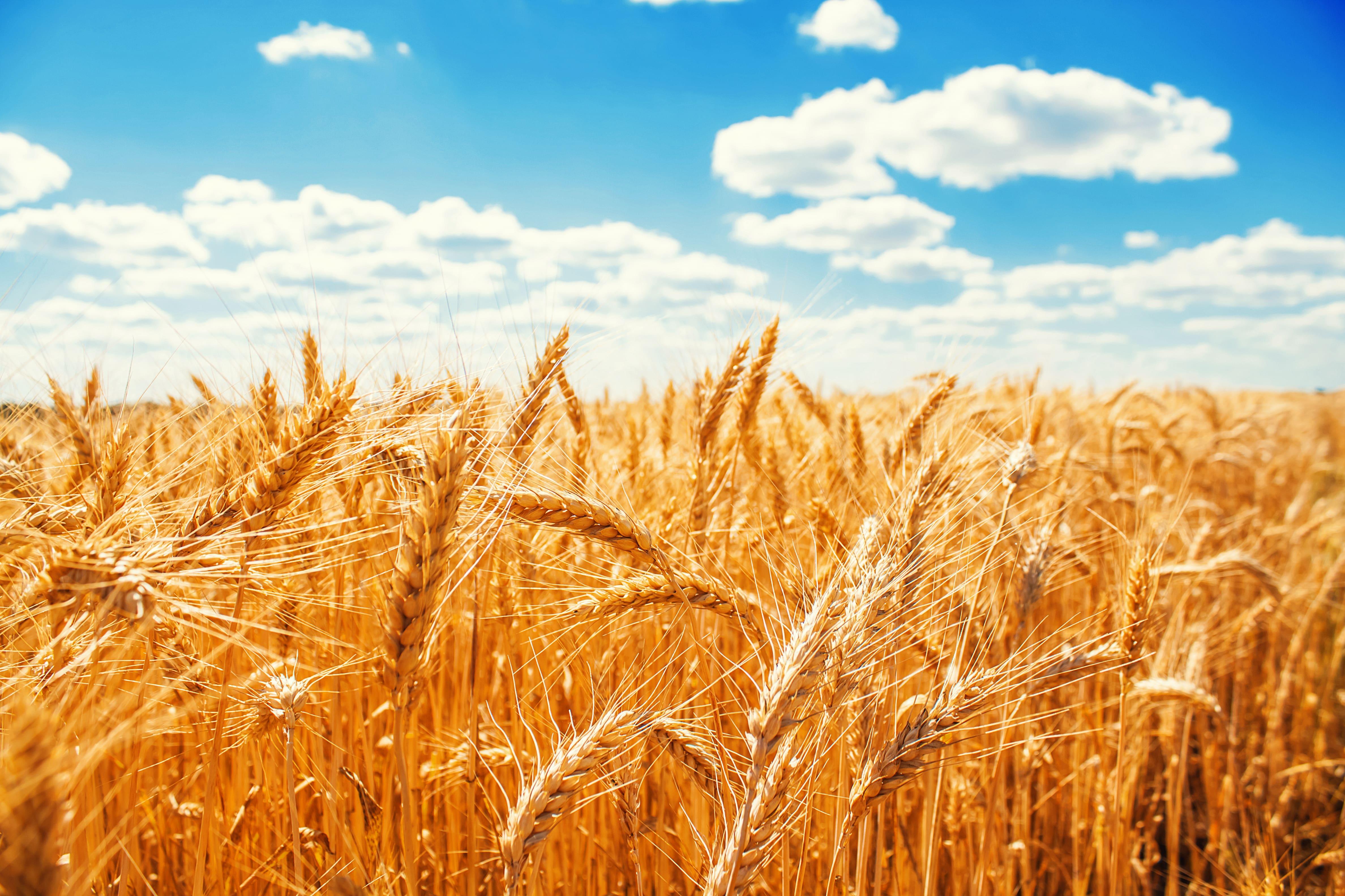 Plantio de trigo para o pos-colheita