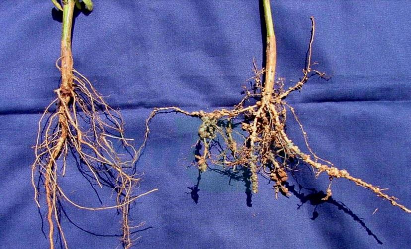 Raiz saudável x raiz com nematóide - Crédito Embrapa