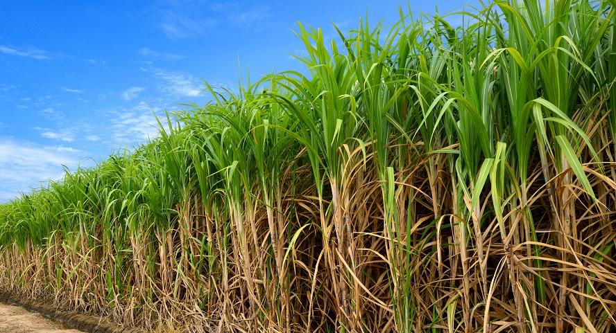 cana-de-açúcar - canavial