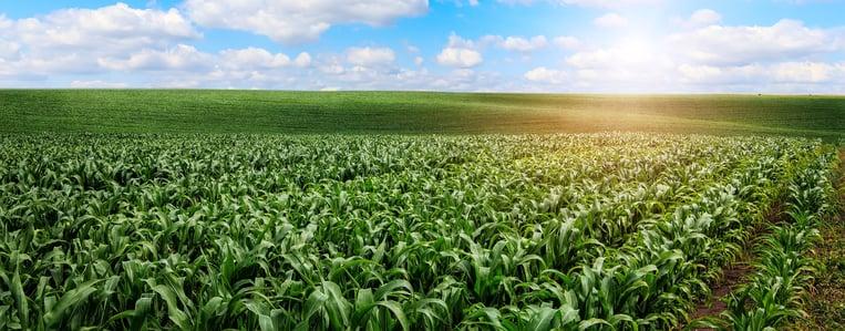 com auxilio da biotecnologia areas de refugio ajudam para altos tetos produtivos na cultura de milho