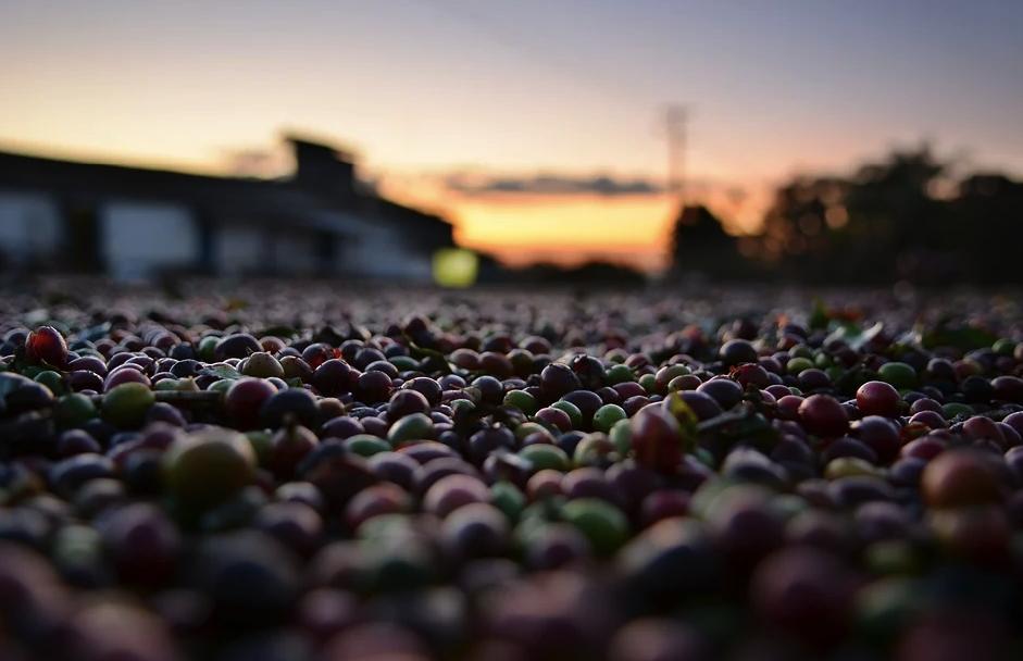 A cultura cafeeira foi o pilar da atividade agrícola brasileira por décadas