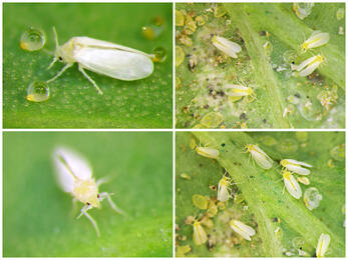A mosca-branca prejudica o agricultor digital