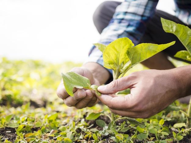 imagem aproximada das mãos de um agricultor manuseando uma muda em sua plantação